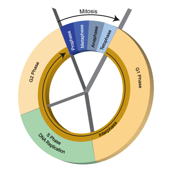 Cell cycle illustration