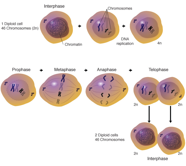 Mitosis process illustrated