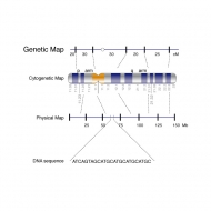 Illustration of a genetic map