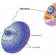 Nucleus of a cell illustrated